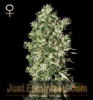 GH Strain Hunters Big Tooth Fem 10 Seeds
